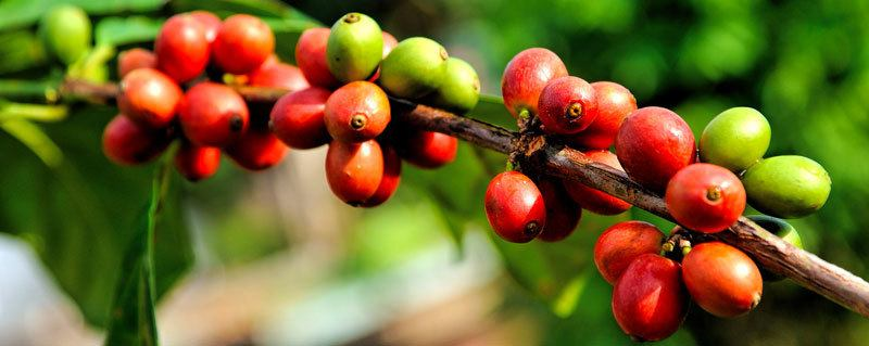 Arabica Coffee vs Robusta Coffee: What's the Difference?